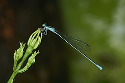 Aciagrion occidentale is een libellensoort uit de familie der waterjuffers
