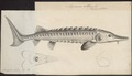 Acipenser sturio - 1700-1880 - Print - Iconographia Zoologica - Special Collections University of Amsterdam - UBA01 IZ14400023.tif