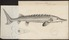 Acipenser sturio - 1700-1880 - Print - Iconographia Zoologica - Special Collections University of Amsterdam - UBA01 IZ14400023.tif
