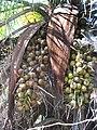 Acrocomia mexicana-spathes-1.jpg