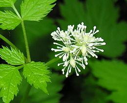 Actaea spicata ziedai