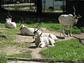 Addax nasomaculatus in the Silesian Zoological Garden 02.JPG