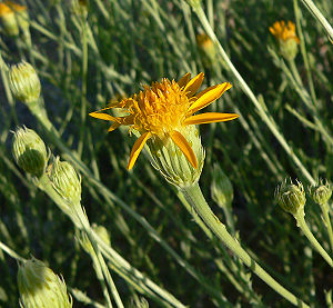 Adenophyllum cooperi - Image: Adenophyllum cooperi 3