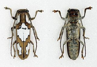 <i>Adesmus</i> genus of insects