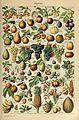 Adolphe Millot fruits-pour tous.jpg
