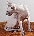 Adult cat Sphynx. img 019.jpg