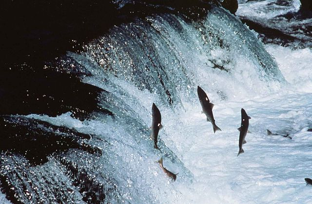 Sockeye Salmon jumping a waterfall, Author Marvina for Fish & Wildlife Service, Source http://www.public-domain-image.com (PD-Federal govt.)