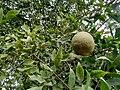 Aegle marmelos bhel goldenApple JapaneseBbitterOrange stoneApple WoodApple 03.jpg