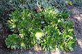 Aeonium canariense - Leaning Pine Arboretum - DSC05425.JPG