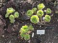 Aeonium gorgoneum - Botanischer Garten, Frankfurt am Main - DSC02359.JPG