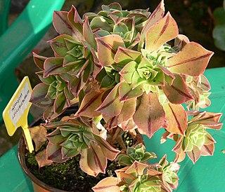 <i>Aeonium leucoblepharum</i> species of plant