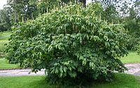 Aesculus-parviflora-habit