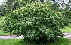 Aesculus-parviflora-habit.JPG