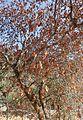 Aesculus californica kz4.jpg