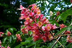 definition of aesculus