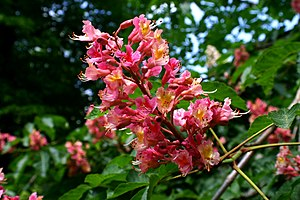 Aesculus - Flower of Aesculus x carnea, the red Horse Chestnut