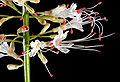 Aesculus parviflora 09.jpg