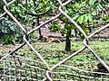 African Cheetah in Indira Gandhi Zoological park.jpg