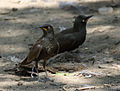 African Pied Starling RWD2.jpg