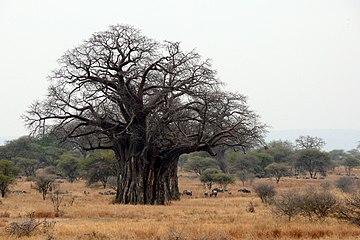 Afrikanische Affenbrotbaum (Adansonia digitata).jpg