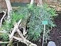 Afrocarpus falcatus (Jardin des Plantes de Paris).jpg