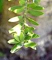 Agathis australis in Christchurch Botanic Gardens 02.jpg