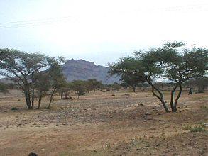 Agdz Acacia nilotica.jpg
