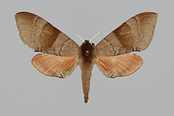 Agnosia orneus, female, upperside. India, Dehra Dun.jpg