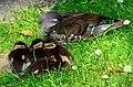 Aix galericulata (Küken) - Nymphenteich Zürichhorn 2013-06-06 15-11-20.JPG