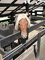 Alba Carolina Fortress 2011 - Pony.jpg