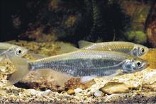 Cyprinidae