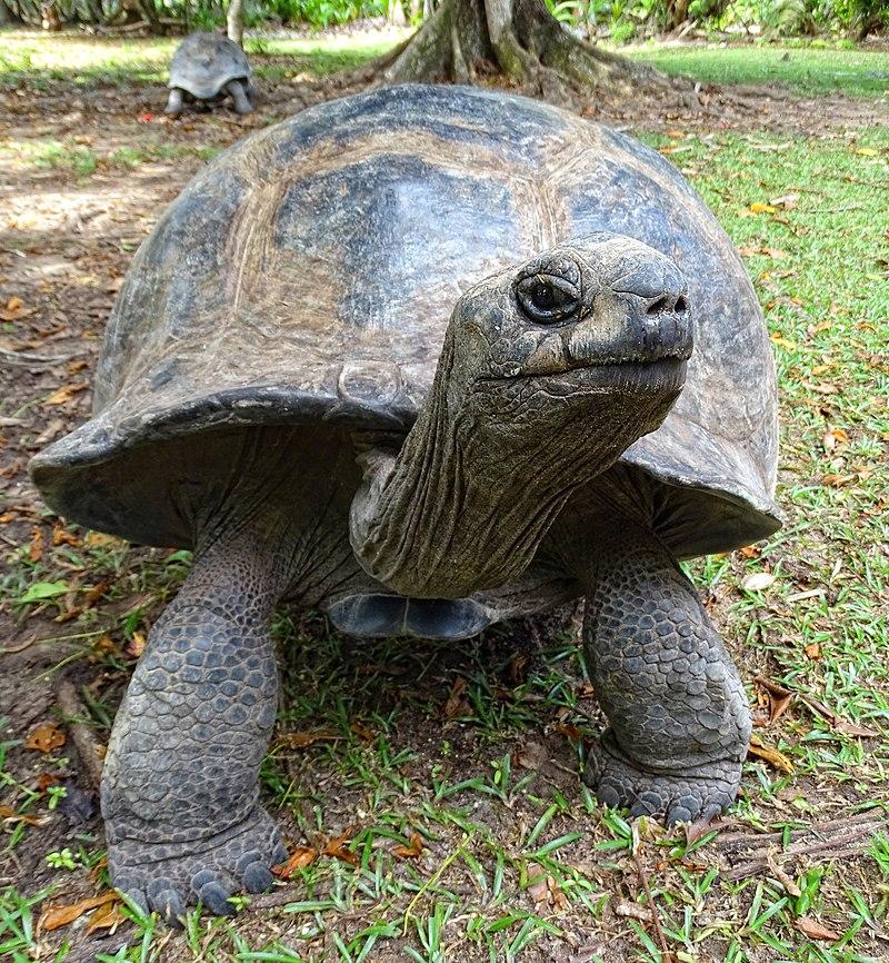 Aldabra Female on Curieuse.JPG