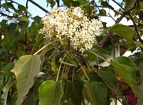 Description de l'image Image:Aleurites moluccana flowers.jpg.