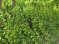 Allaria petiolata(04).jpg