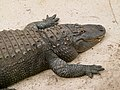 Alligator mississippiensis - Oasis Park - 02.jpg