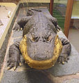 Alligatorn Smilet på Göteborgs Naturhistoriska Museum 7947.jpg