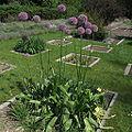 Allium giganteum a1.jpg