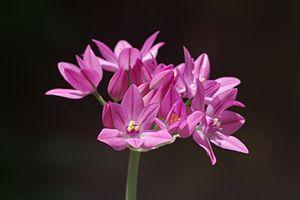 Allium oreophilum - Allium oreophilum