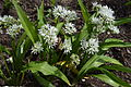 Allium ursinum - Lučenec 2015.jpg