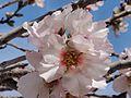 Almond Blossom Time (12702791045).jpg