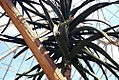 Aloe barberiae 1zz.jpg