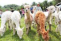 Alpaca Walking Hour in Green World Ecological Farm.jpg