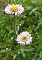 Alpenblume01.jpg