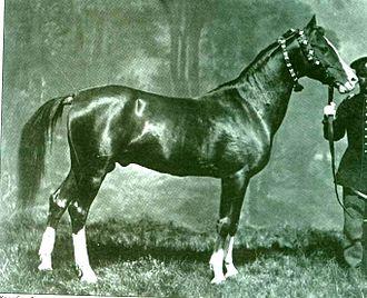 Karabakh horse - A Karabakh horse named Alyetmez, from the stud of Khurshidbanu Natavan-Utsmiyeva, accredited in the Second All-Russian exhibition. Photo from 1867.