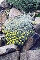 Alyssum tortuosum.jpg