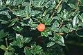 Alyxia-daphnoides-fruit.jpg