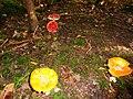 Amanita muscaria, Hausen, Obersontheim 2016.jpg