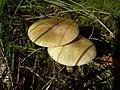 Amanita phalloides (1467454085).jpg