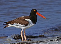 American Oystercatcher at San Carlos Bay.jpg