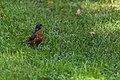 American Robin (43294897965).jpg
